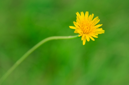 Beautiful yellow flower with curved stem on green grass blurred copy space background Banque d'images