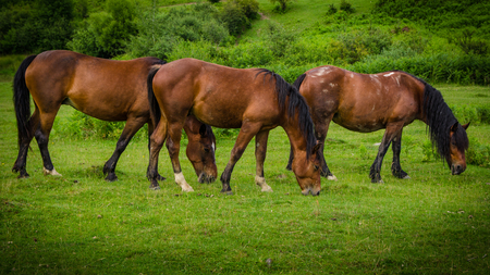 Three beautiful brown horses grazing symmetrically on a green meadow Banque d'images