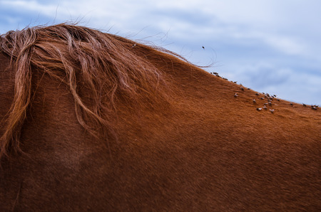 Close up dozens of flies on the back of a brown horse with beautiful hair Stock Photo