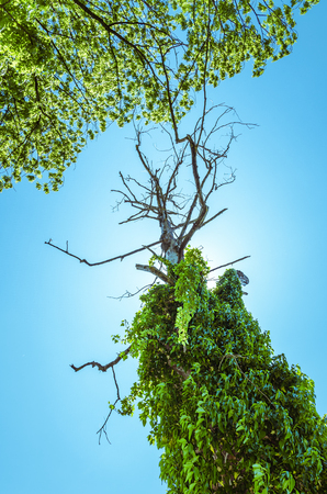 Dried out dead tree trunk abound of green vegetation on sunny clear blue