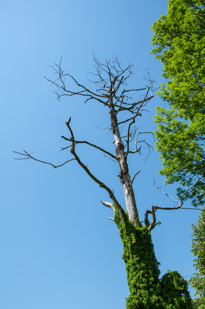 A dried out tree seen from bellow abound of green vegetation on summer clear blue sky Banque d'images