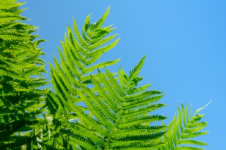 Beautiful vivid green ferns on summer clear blue sky Banque d'images