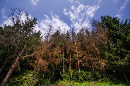 Dried pine trees in a green forest and beautiful sky with clouds