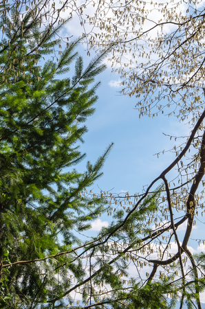 The silent confrontation between a conifer and deciduous broadleaf tree over the blue cloudy sky in a warm winter more like a late autumn Banque d'images