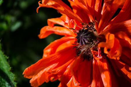 Orange big wild poppy flower in May. Beautiful spring flower petals close-up