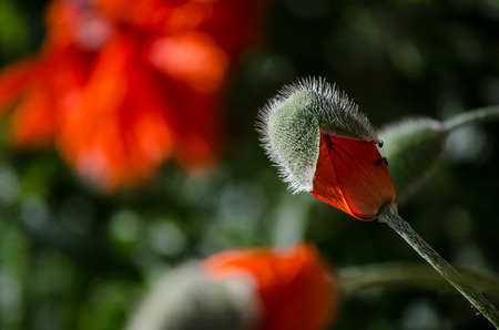 Orange small wild poppy flower in bloom. Ant on beautiful spring flower petals, close-up in May