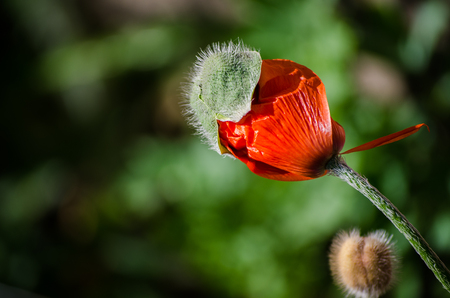 Orange small wild poppy flower in bloom. Beautiful spring flower petals close-up in May
