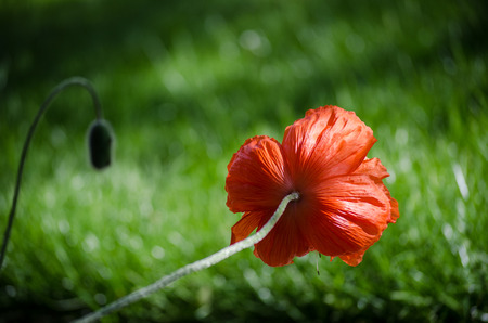 Orange big wild poppy flower seen from behind with awesome bokeh effect on background grass. Beautiful spring poppy flower petals in May