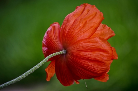 Orange big wild poppy flower seen from behind. Beautiful spring poppy flower petals close-up in May