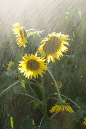 compositae: a sunflower being showered with water Helianthus annus Compositae