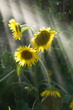 helianthus: a sunflower being showered with water Helianthus annus Compositae