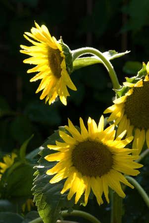 compositae: Helianthus annus Compositae sun flower