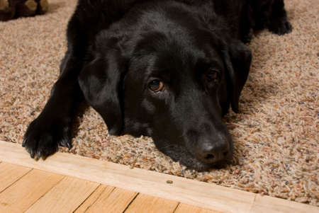 a black labrador retriever lies on the carpet