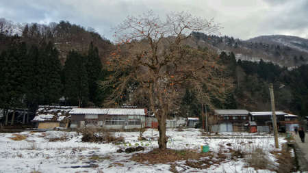 shirakawa go: Persimmon tree  in the late winter at Shirakawago, Japan
