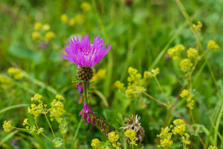 pedicel: Beautiful flower of the wild cornflower or centaurea