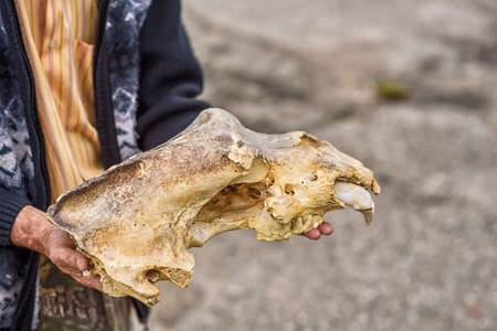 paleontologist: Close-up image of paleontologist holding skull of cave bear