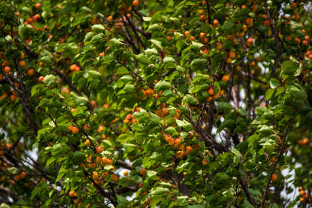 Close-up image of apricot tree with fruits