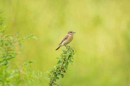 common reed: Male young Europian stonechat or Saxicola rubicola seats on twig Stock Photo