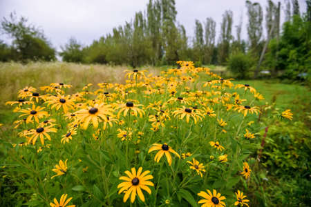 Yellow coneflower or rudbeckia flowers in a garden Stock Photo