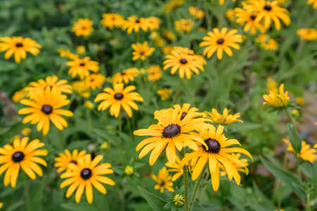 phytology: Yellow coneflower or rudbeckia flowers in a garden Stock Photo