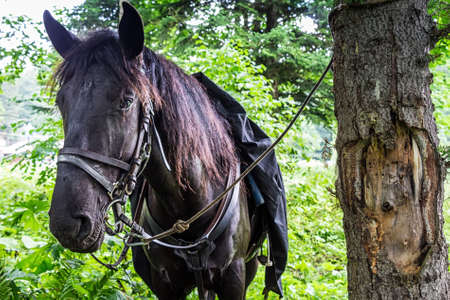 Beautiful black horses saddled for travel in mountain forest