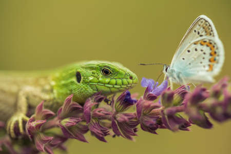 Sand lizard hunting silver-studded blue
