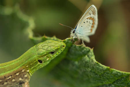 lacerta: Sand lizard hunting silver-studded blue