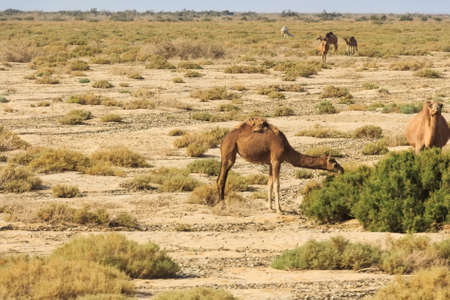 dromedaries: Dromedaries in desert