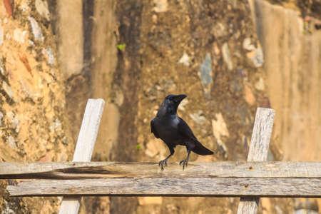 House crow or Corvus splendens protegatus Stock Photo