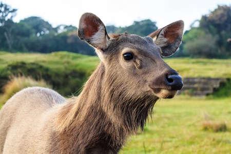 cervus: Sambar deer in wild