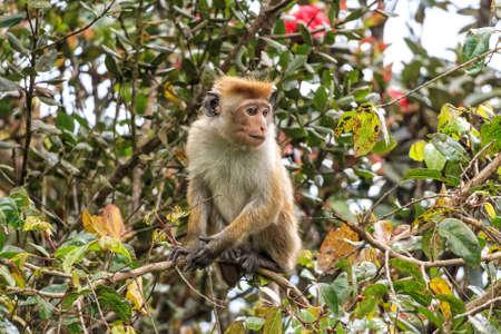 Photograph of Sri-Lankan toque macaque or Macaca sinica Stock Photo