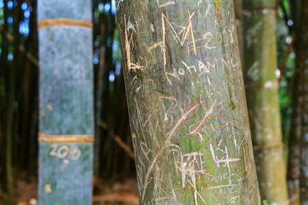 arboleda: Yellow bamboo in natural environment Foto de archivo