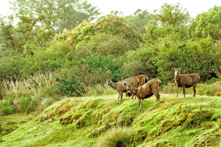 Sambar deer in wild