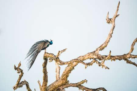 Peacock or Pavo cristatus sits on tree
