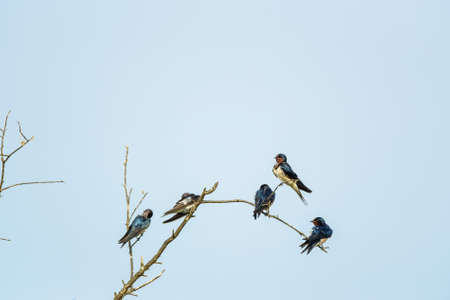 Swallows on blue sky background