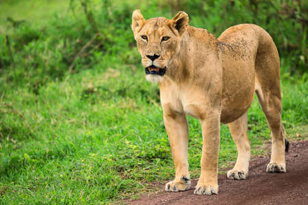 maasai mara: Closeup of lioness Stock Photo