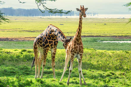 browses: Pair of Ugandan giraffes browses in savannah