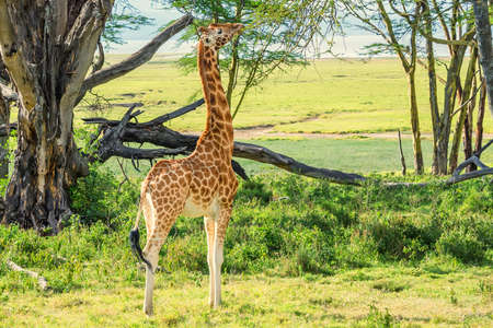 Ugandan giraffe browses in savannah Stock Photo