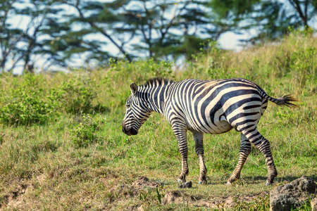 nakuru: Zebra grazing in savanna
