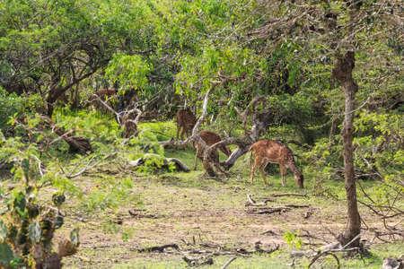 madhya: Chital deer or Axis graze in Yala