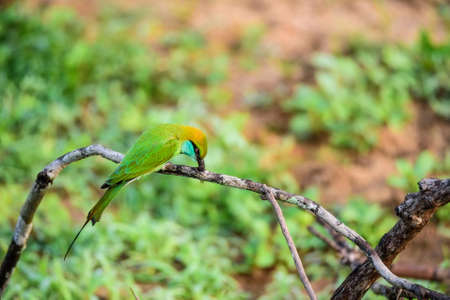Bee-eater or Merops orientalis sits on branch