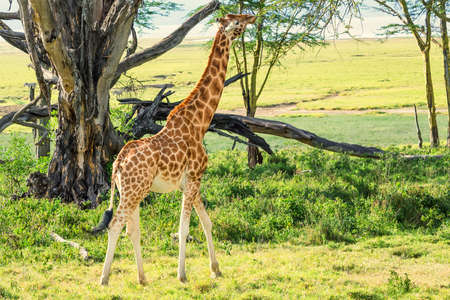 browses: Ugandan giraffe browses in savannah Stock Photo