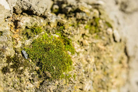 mustiness: Close up moss on the stone