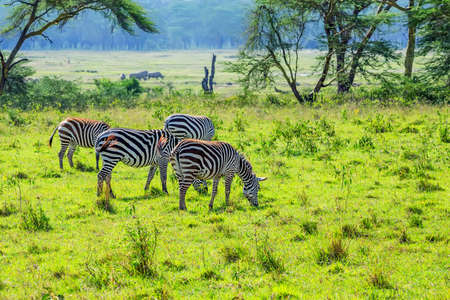 nakuru: Zebras grazing in savanna