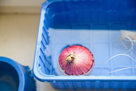 Onion bulb floats in water in plastic container