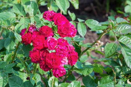 poetic: Red roses bush in the garden