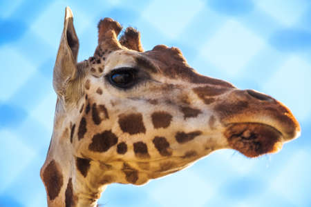 Portrait of giraffe.