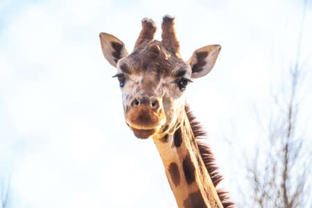 Portrait of giraffe in zoo Stock Photo