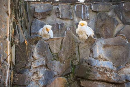 2 つのエジプトのハゲワシやニシオオノスリ猛禽の檻 写真素材 - 80241221