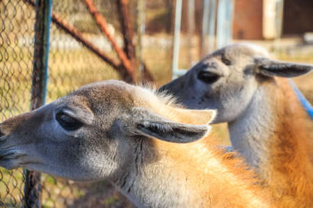 Close up young llamas in zoo